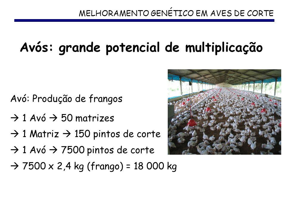 MELHORAMENTO GENÉTICO EM AVES DE CORTE Avós: grande potencial de multiplicação Avó: Produção de frangos 1 Avó 50 matrizes 1 Matriz 150 pintos de corte