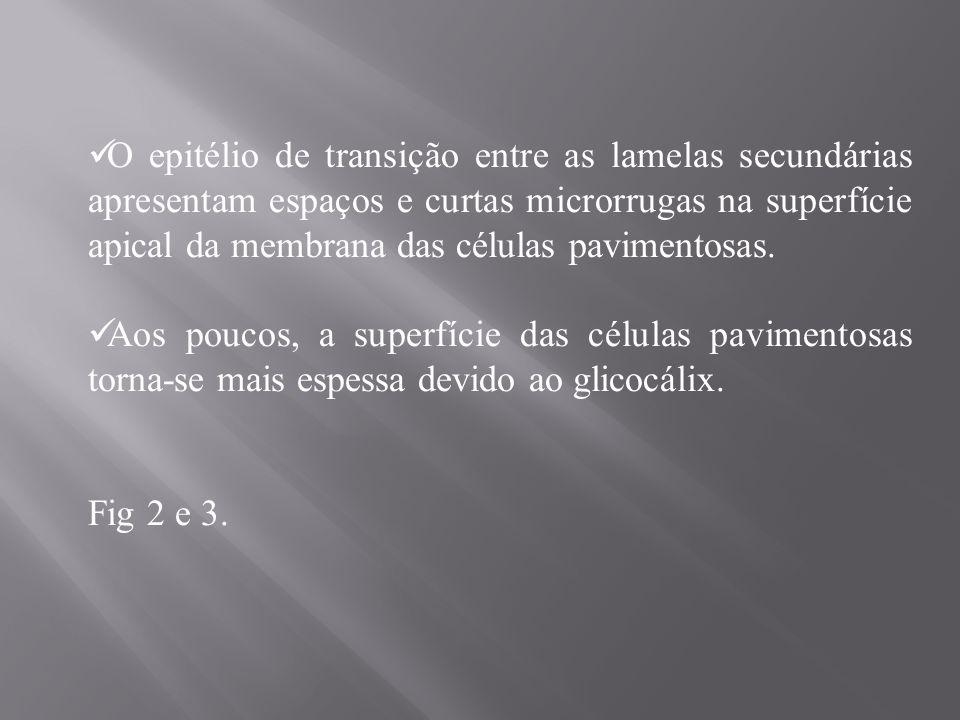 FIG.2. (a) varredura dos filamentos branquiais (F) de H.
