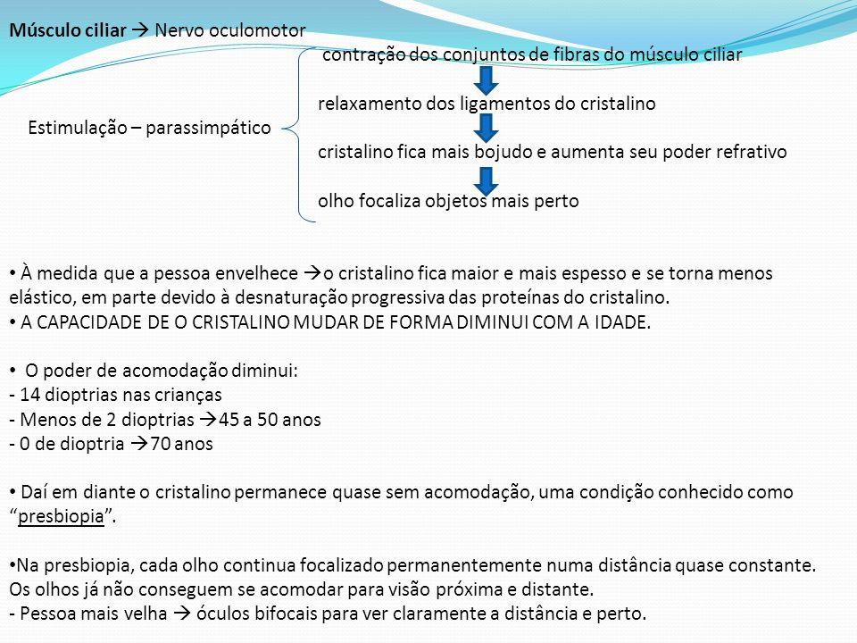 Músculo ciliar Nervo oculomotor contração dos conjuntos de fibras do músculo ciliar relaxamento dos ligamentos do cristalino Estimulação – parassimpát