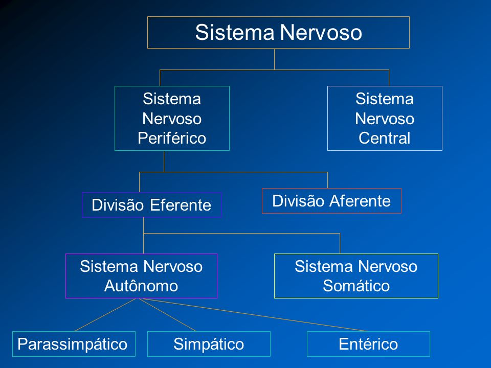 Anatomia Básica do Sistema Nervoso Autônomo Padrão bineuronal: neurônio pré-ganglionar com corpo celular no SNC e neurônio pós ganglionar com corpo celular no gânglio autonômico.