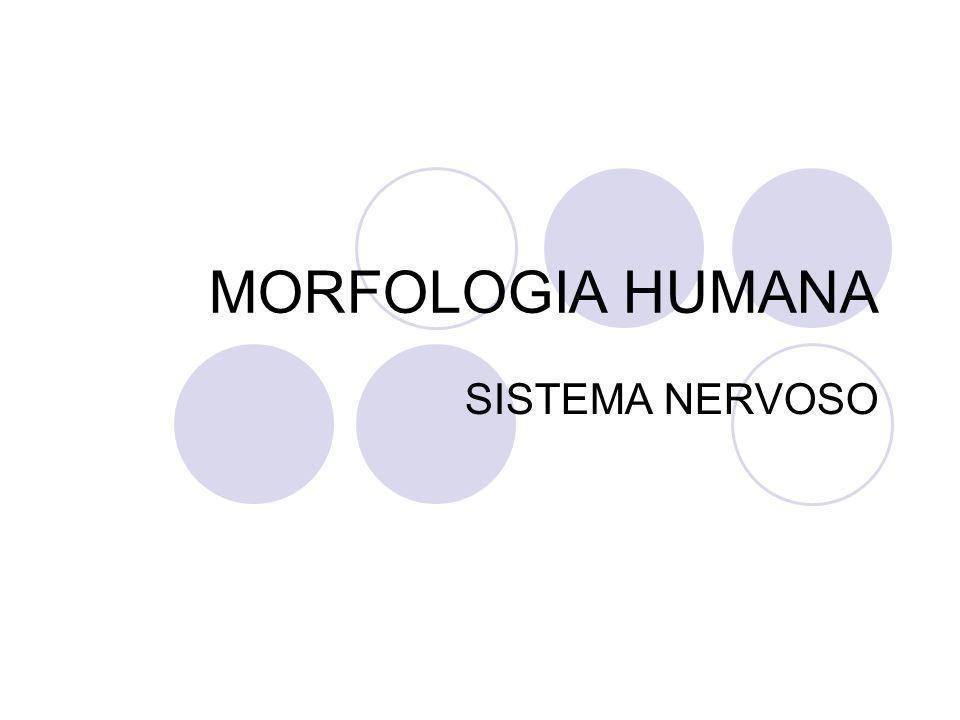 MORFOLOGIA HUMANA SISTEMA NERVOSO