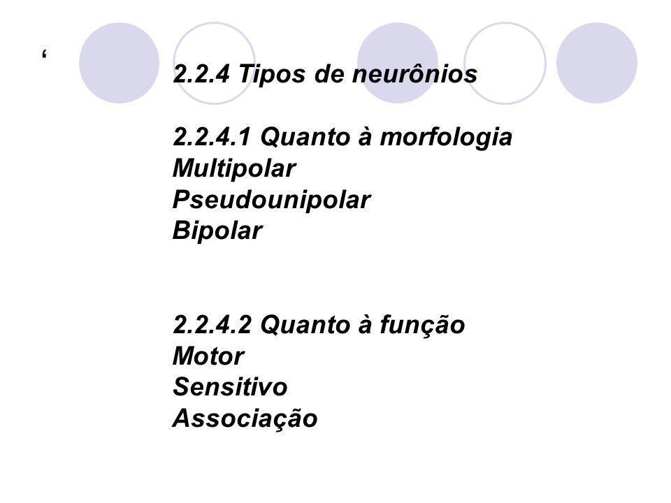 2.2.4 Tipos de neurônios 2.2.4.1 Quanto à morfologia Multipolar Pseudounipolar Bipolar 2.2.4.2 Quanto à função Motor Sensitivo Associação