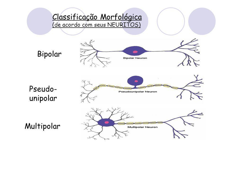 Classificação Morfológica (de acordo com seus NEURITOS) Bipolar Pseudo- unipolar Multipolar