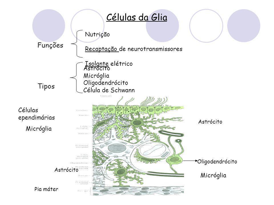 Células da Glia Astrócito Micróglia Oligodendrócito Célula de Schwann Células ependimárias Nutrição Recaptação de neurotransmissores Isolante elétrico Funções Tipos Pia máter Astrócito Oligodendrócito Células ependimárias Micróglia