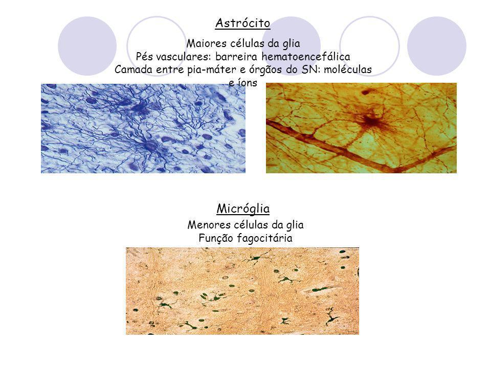 Astrócito Maiores células da glia Pés vasculares: barreira hematoencefálica Camada entre pia-máter e órgãos do SN: moléculas e íons Micróglia Menores células da glia Função fagocitária