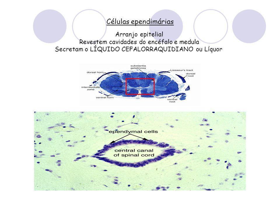 Células ependimárias Arranjo epitelial Revestem cavidades do encéfalo e medula Secretam o LÍQUIDO CEFALORRAQUIDIANO ou Líquor