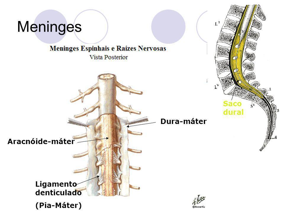 Meninges Ligamento denticulado (Pia-Máter) Dura-máter Aracnóide-máter Saco dural