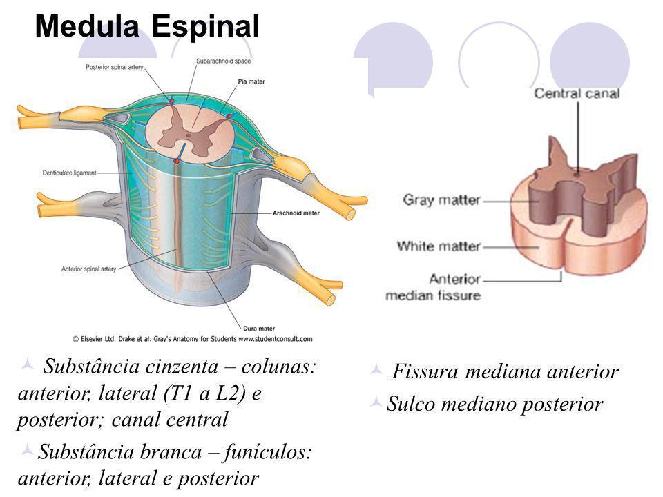 Medula Espinal Substância cinzenta – colunas: anterior, lateral (T1 a L2) e posterior; canal central Substância branca – funículos: anterior, lateral