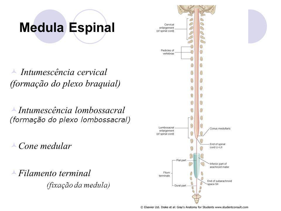 Medula Espinal Intumescência cervical (formação do plexo braquial) Intumescência lombossacral (formação do plexo lombossacral) Cone medular Filamento terminal (fixação da medula)