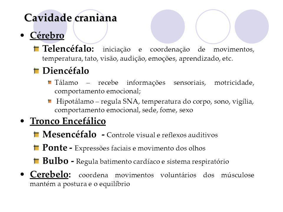 Cavidade craniana Cérebro Telencéfalo: iniciação e coordenação de movimentos, temperatura, tato, visão, audição, emoções, aprendizado, etc. Diencéfalo