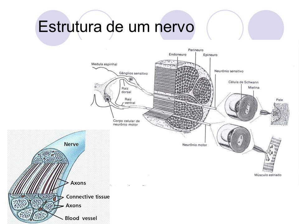 Estrutura de um nervo