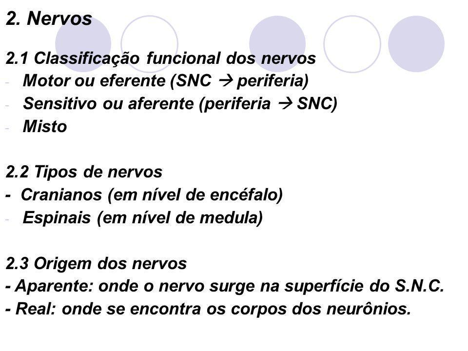 2. Nervos 2.1 Classificação funcional dos nervos - Motor ou eferente (SNC periferia) - Sensitivo ou aferente (periferia SNC) - Misto 2.2 Tipos de nerv