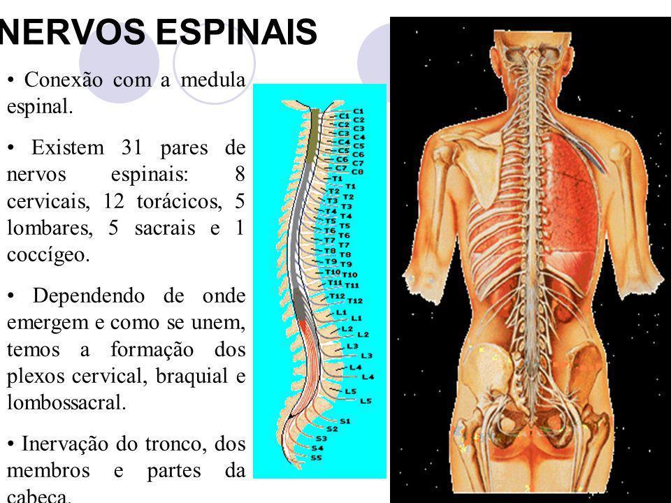 NERVOS ESPINAIS Conexão com a medula espinal. Existem 31 pares de nervos espinais: 8 cervicais, 12 torácicos, 5 lombares, 5 sacrais e 1 coccígeo. Depe