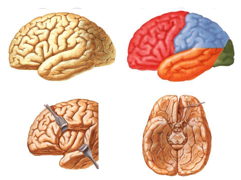 NERVOS CRANIANOS Nervo olfatório: sensitivo (olfato) Nervo óptico: sensitivo (visão) Nervos oculomotor, troclear e abducente: motores (motricidade dos músculos dos olhos) Nervo trigêmeo: misto (motricidade dos músculos da mastigação e sensibilidade geral) ramos: n.