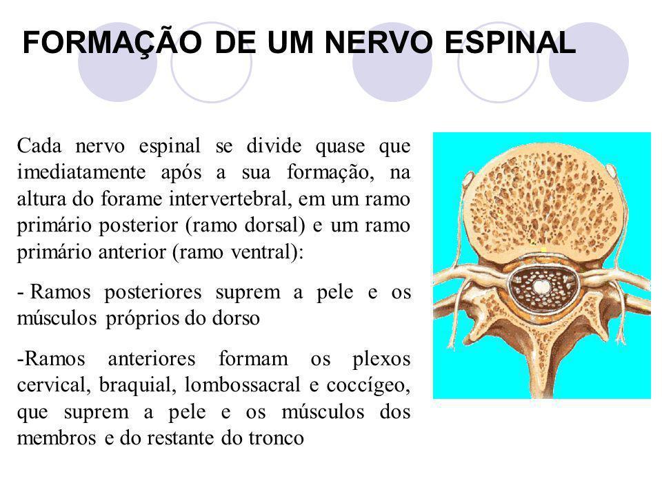 FORMAÇÃO DE UM NERVO ESPINAL Cada nervo espinal se divide quase que imediatamente após a sua formação, na altura do forame intervertebral, em um ramo