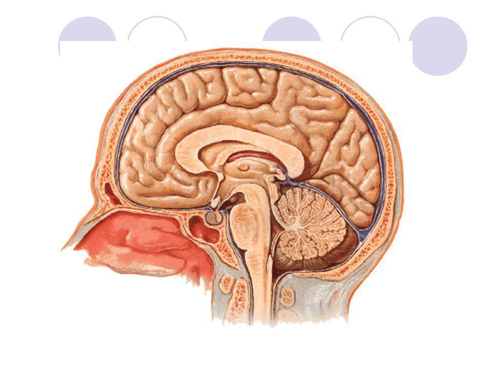 NERVOS CRANIANOS Nervo facial: misto (mímica facial, glândulas salivares maiores e gustação) Nervo vestibulococlear: sensitivo (apresenta uma porção vestibular – equilíbrio; e porção coclear – audição) Nervo glossofaríngeo: misto (inerva parte da língua e faringe; glândula parótida e gustação) olfatório óptico oculomotor, troclear e abducente trigêmeo facial vestíbulo- coclear vago hipoglossoacessório glossofaríngeo