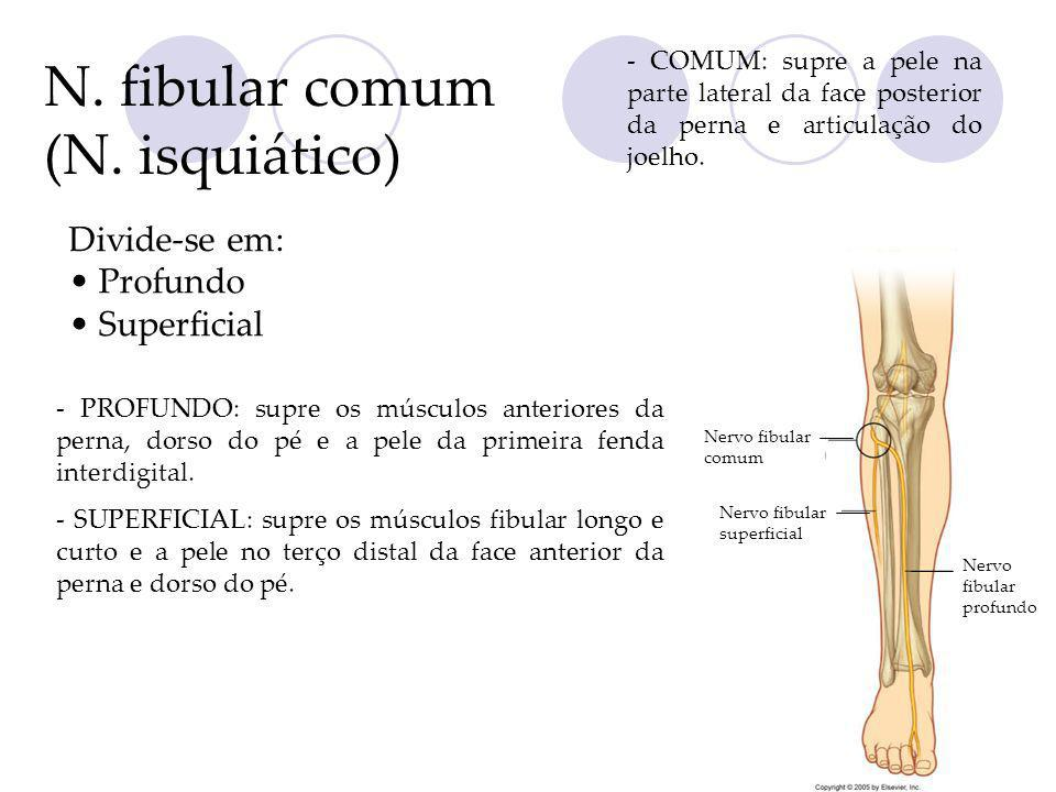N. fibular comum (N. isquiático) Divide-se em: Profundo Superficial - PROFUNDO: supre os músculos anteriores da perna, dorso do pé e a pele da primeir