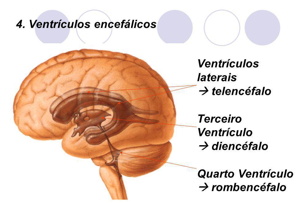 NERVOS CRANIANOS Nervo vago: misto (inerva laringe e faringe, todas as vísceras torácicas e a maioria das abdominais) Nervo acessório: motor (inerva mm.