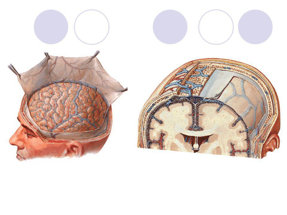 FORMAÇÃO DE UM NERVO ESPINAL União das raízes dorsal (sensitiva) e ventral (motora) Tronco do nervo - misto