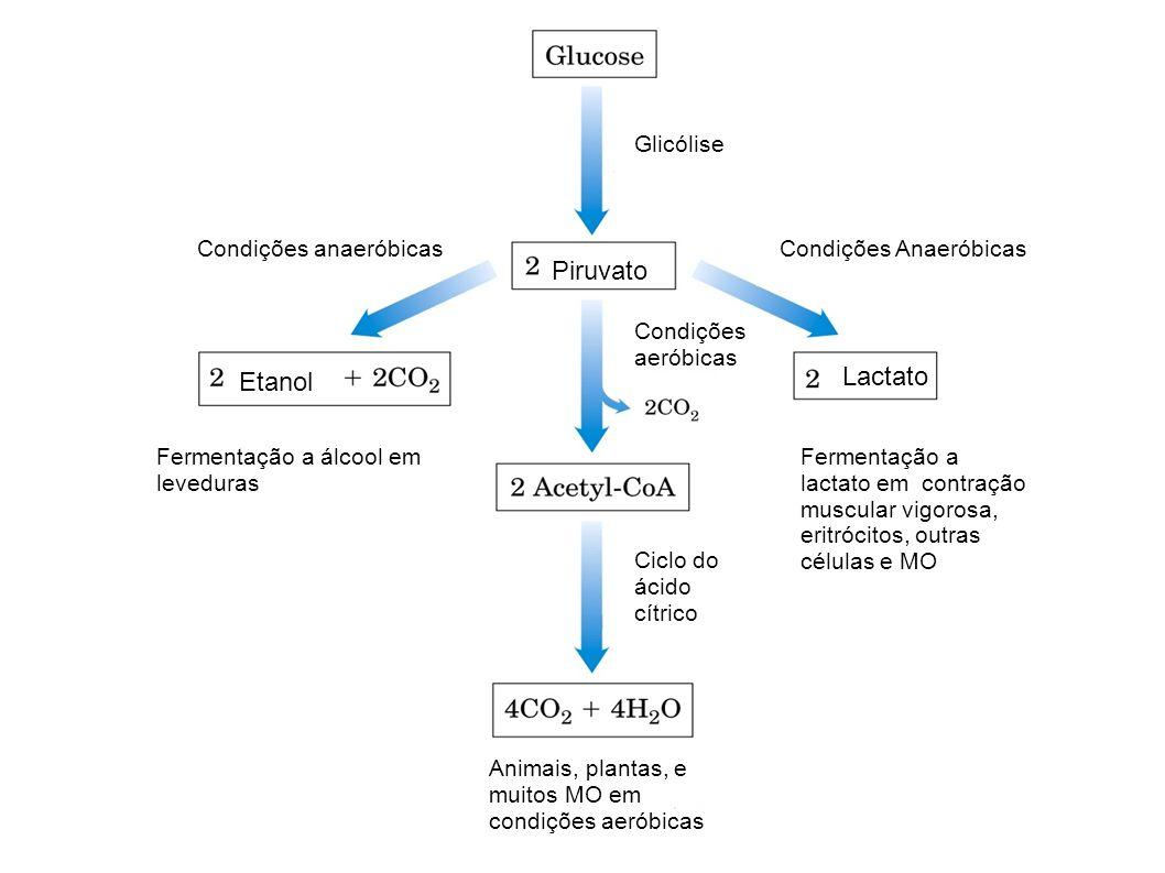 Piruvato Etanol Lactato Glicólise Condições Anaeróbicas Condições aeróbicas Condições anaeróbicas Fermentação a álcool em leveduras Fermentação a lact