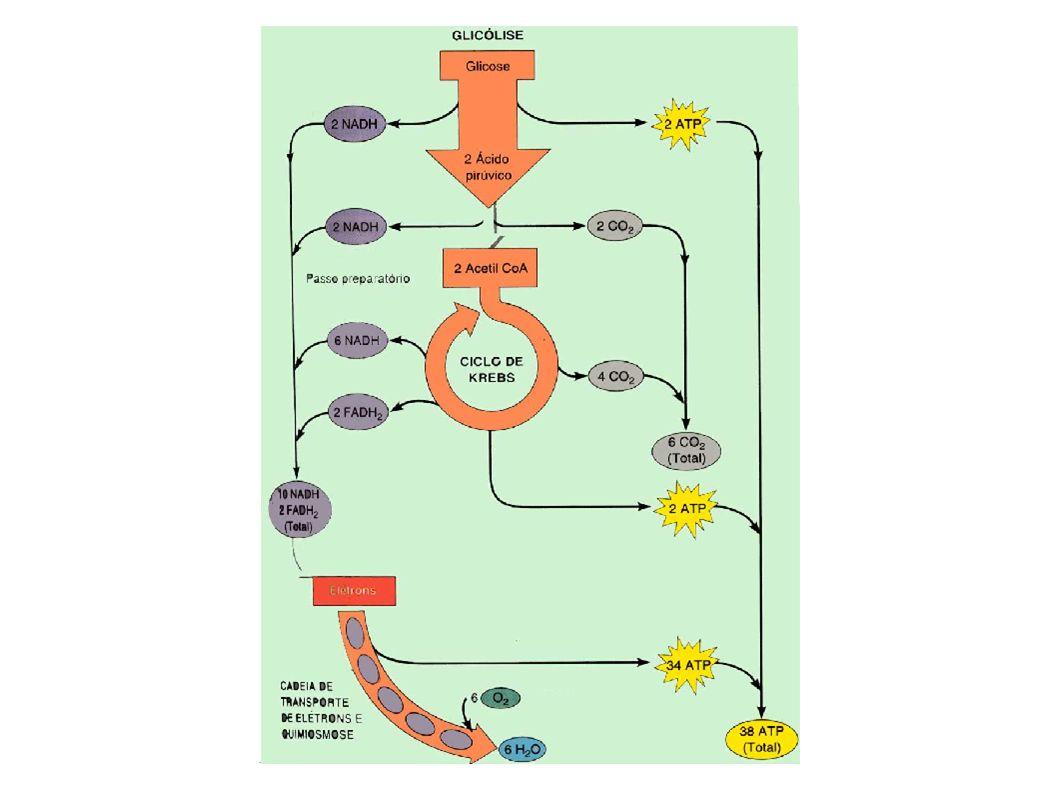 Piruvato Etanol Lactato Glicólise Condições Anaeróbicas Condições aeróbicas Condições anaeróbicas Fermentação a álcool em leveduras Fermentação a lactato em contração muscular vigorosa, eritrócitos, outras células e MO Ciclo do ácido cítrico Animais, plantas, e muitos MO em condições aeróbicas