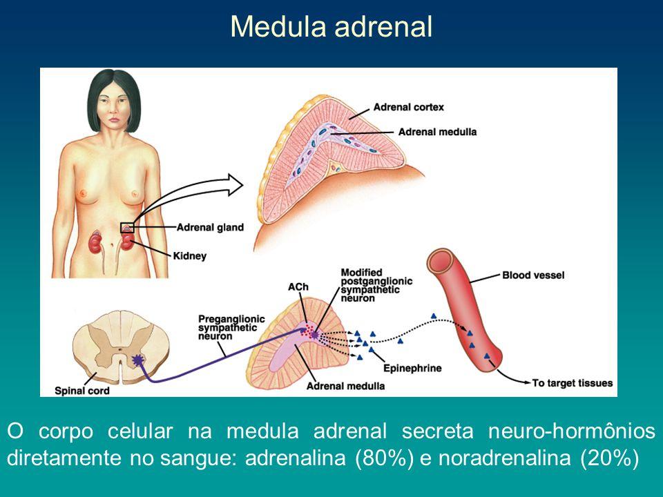 Medula adrenal O corpo celular na medula adrenal secreta neuro-hormônios diretamente no sangue: adrenalina (80%) e noradrenalina (20%)