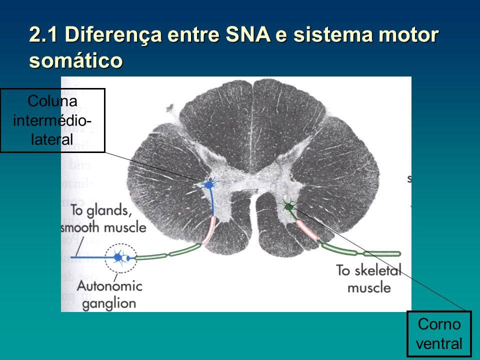 2.1 Diferença entre SNA e sistema motor somático Coluna intermédio- lateral Corno ventral