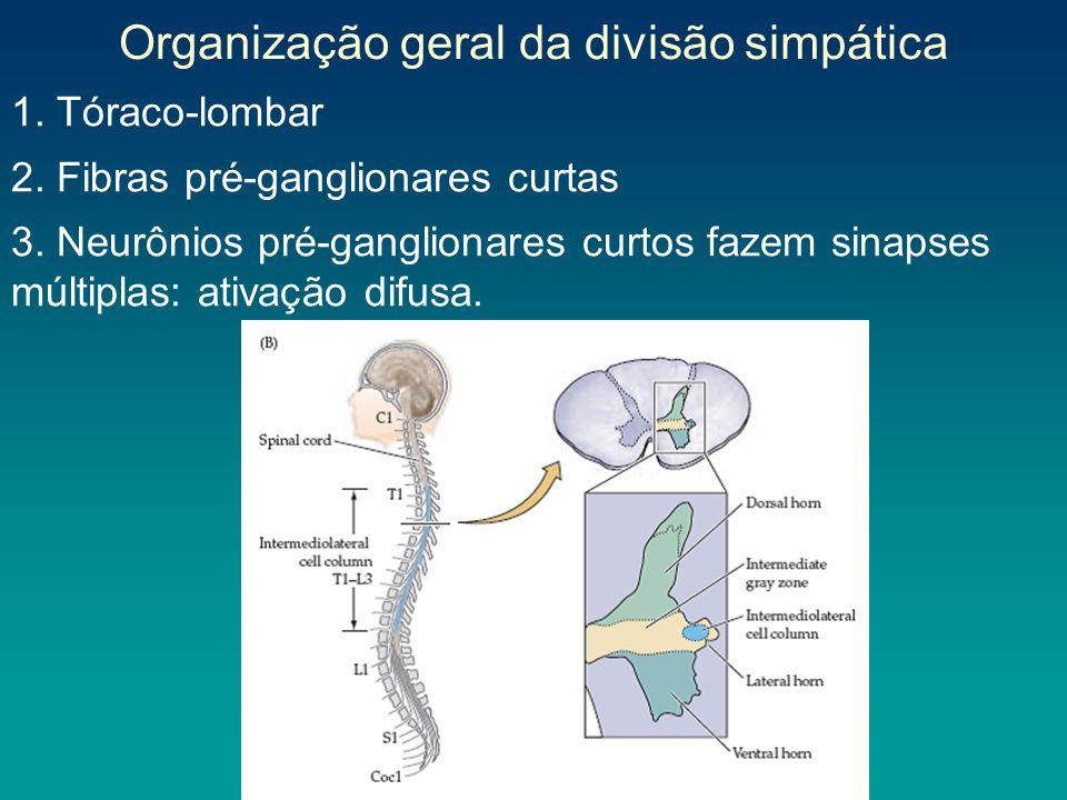 Organização geral da divisão simpática 1. Tóraco-lombar 2. Fibras pré-ganglionares curtas 3. Neurônios pré-ganglionares curtos fazem sinapses múltipla