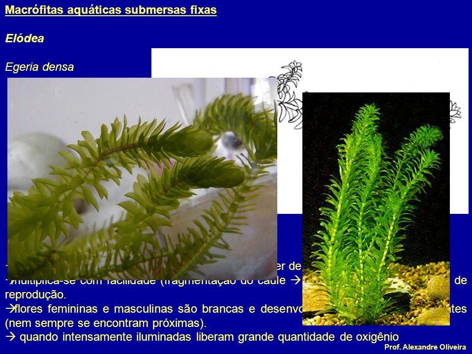 Prof. Alexandre Oliveira originária da América do Sul (podendo também viver de forma livre) multiplica-se com facilidade (fragmentação do caule muito