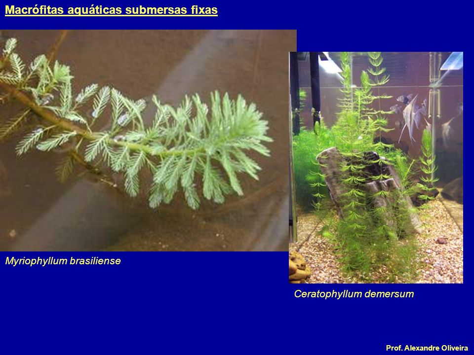 Prof. Alexandre Oliveira Myriophyllum brasiliense Ceratophyllum demersum Macrófitas aquáticas submersas fixas