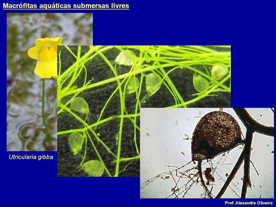 Prof. Alexandre Oliveira Utricularia gibba Macrófitas aquáticas submersas livres