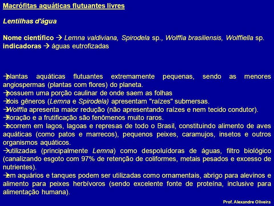 Prof. Alexandre Oliveira Lentilhas d'água Nome científico Lemna valdiviana, Spirodela sp., Wolffia brasiliensis, Wolffiella sp. indicadoras águas eutr