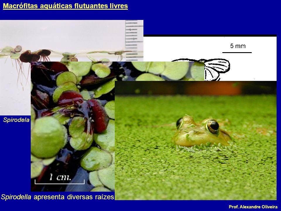 Prof. Alexandre Oliveira Spirodela polyrrhiza Spirodella apresenta diversas raízes. Macrófitas aquáticas flutuantes livres