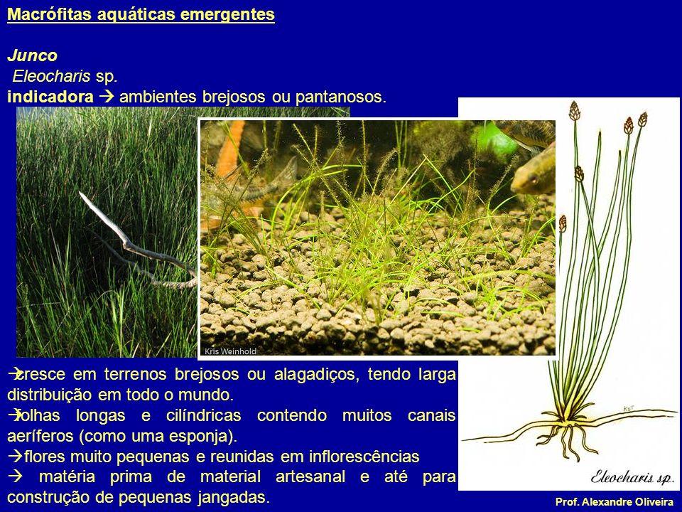 Prof. Alexandre Oliveira cresce em terrenos brejosos ou alagadiços, tendo larga distribuição em todo o mundo. folhas longas e cilíndricas contendo mui