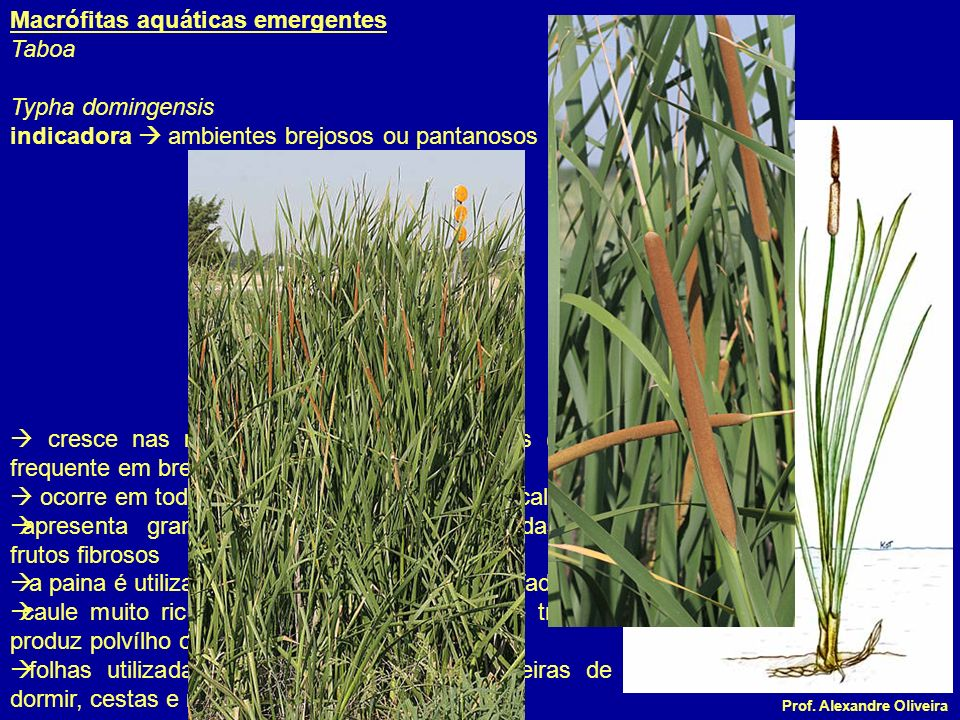 Prof. Alexandre Oliveira Macrófitas aquáticas emergentes Taboa Typha domingensis indicadora ambientes brejosos ou pantanosos cresce nas margens de lag