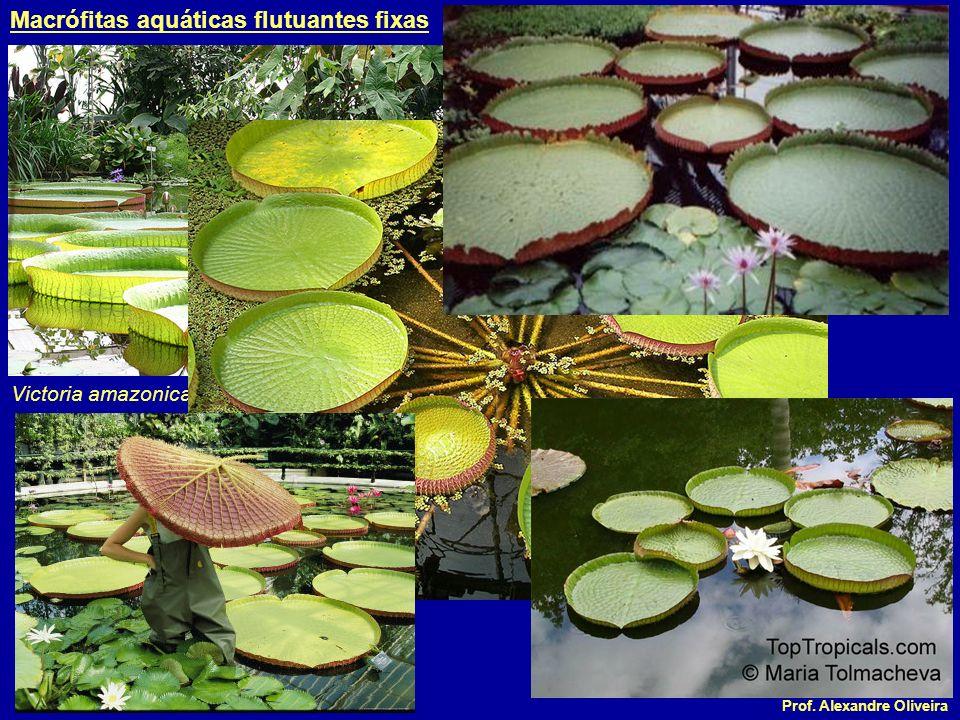 Prof. Alexandre Oliveira Eichhornia crassipes Macrófitas aquáticas flutuantes livres