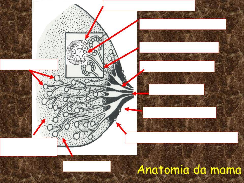 Anatomia da mama