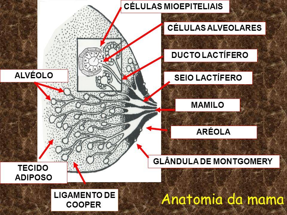 ALVÉOLO GLÂNDULA DE MONTGOMERY ARÉOLA MAMILO SEIO LACTÍFERO DUCTO LACTÍFERO CÉLULAS ALVEOLARES CÉLULAS MIOEPITELIAIS TECIDO ADIPOSO Anatomia da mama L