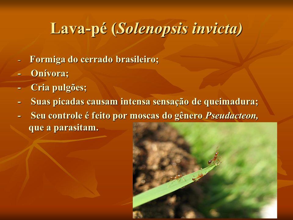 Lava-pé (Solenopsis invicta) - Formiga do cerrado brasileiro; - Onívora; - Cria pulgões; - Suas picadas causam intensa sensação de queimadura; - Seu c