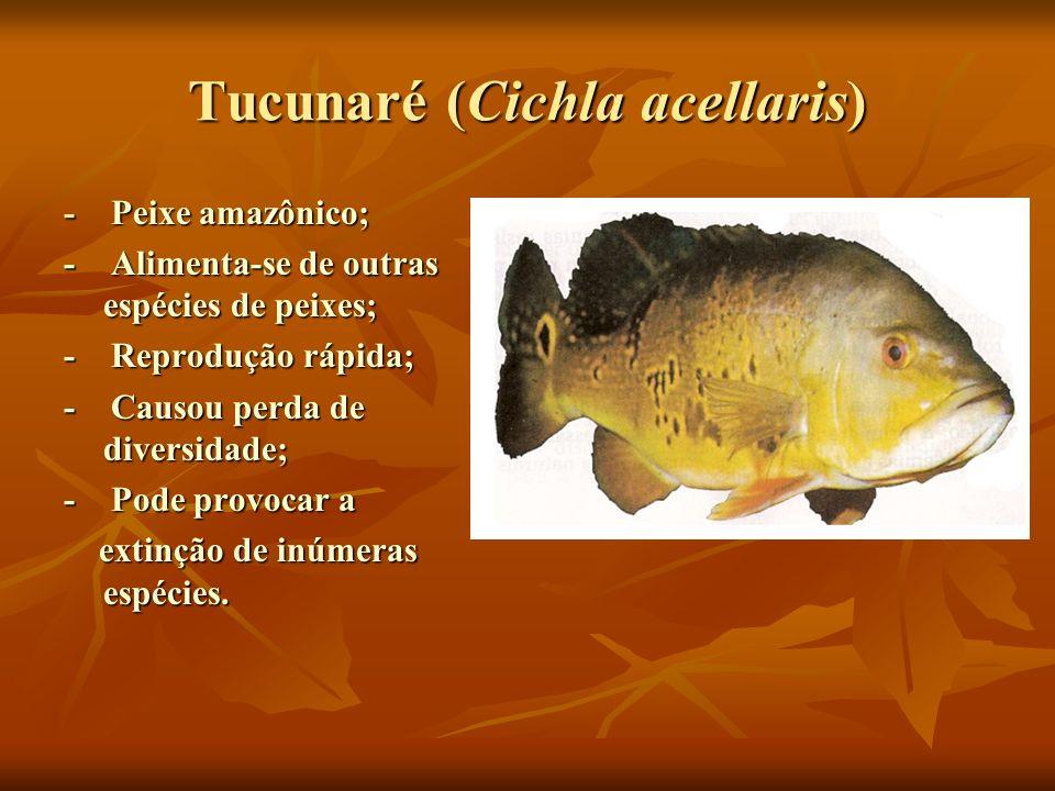 Tucunaré (Cichla acellaris) - Peixe amazônico; - Alimenta-se de outras espécies de peixes; - Reprodução rápida; - Causou perda de diversidade; - Pode