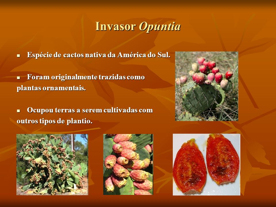 Invasor Opuntia Espécie de cactos nativa da América do Sul. Espécie de cactos nativa da América do Sul. Foram originalmente trazidas como Foram origin