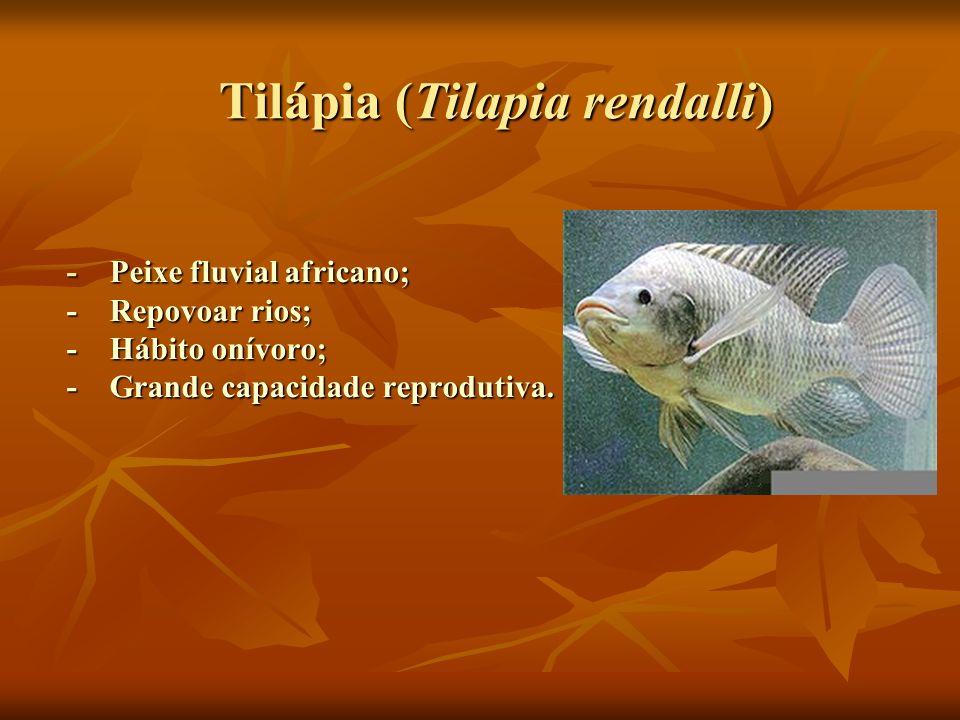 Tilápia (Tilapia rendalli) Tilápia (Tilapia rendalli) - Peixe fluvial africano; - Repovoar rios; - Hábito onívoro; - Grande capacidade reprodutiva.