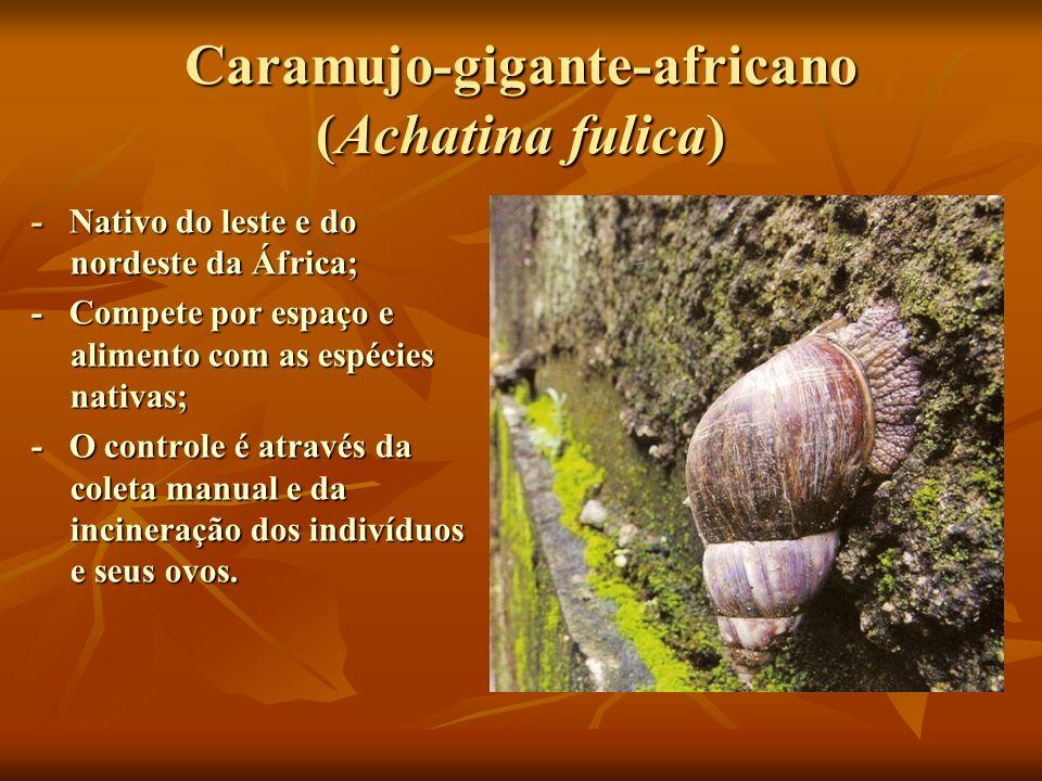 Caramujo-gigante-africano (Achatina fulica) - Nativo do leste e do nordeste da África; - Compete por espaço e alimento com as espécies nativas; - O co