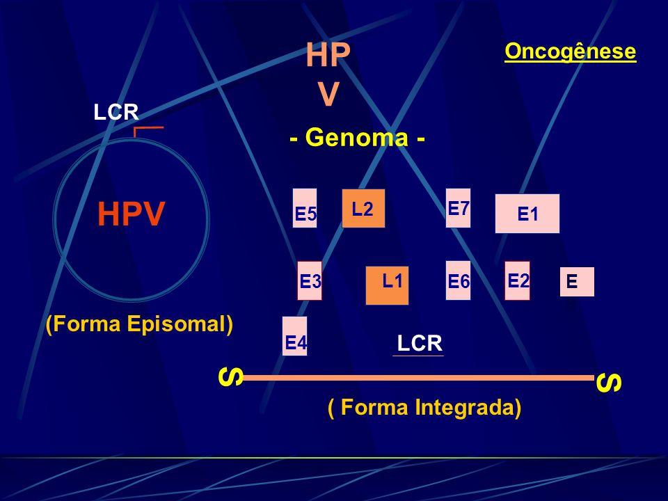 Oncogênese HPV S S E3 E2L1 L2 E4 E5 E6 E7 E1 LCR - Genoma - HP V ( Forma Integrada) (Forma Episomal) E8E8