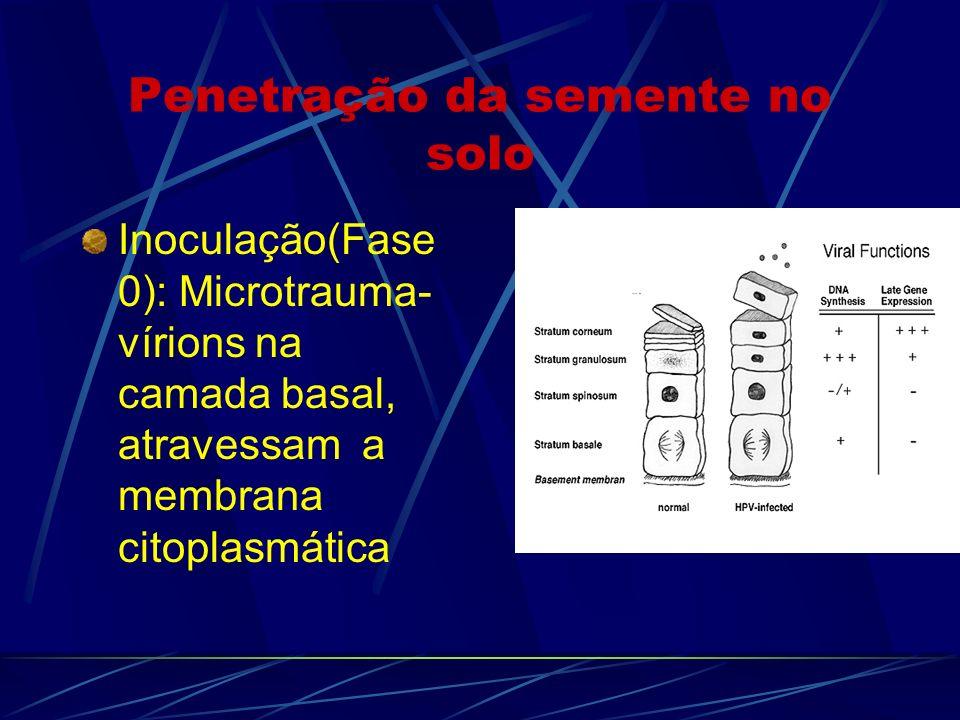 Penetração da semente no solo Inoculação(Fase 0): Microtrauma- vírions na camada basal, atravessam a membrana citoplasmática