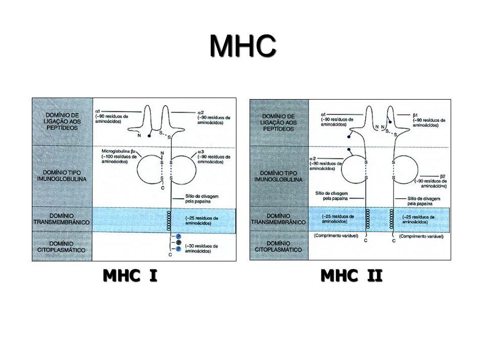 MHC MHC I MHC II