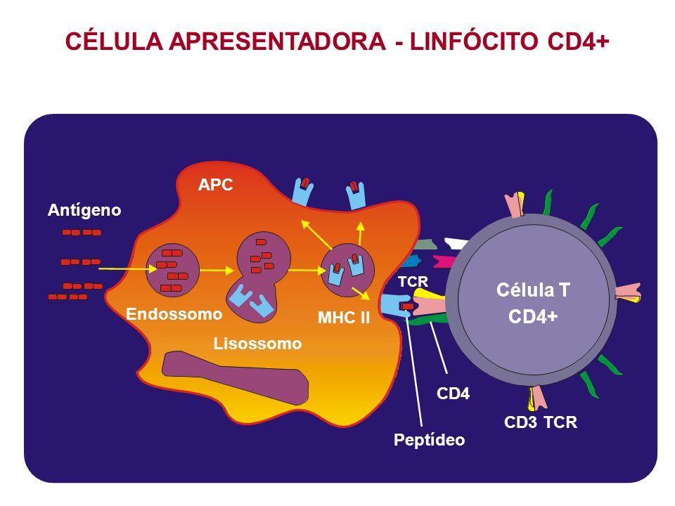 CD3 TCR H CD4 Célula T CD4+ Peptídeo TCR Antígeno Lisossomo MHC II Endossomo APC CÉLULA APRESENTADORA - LINFÓCITO CD4+