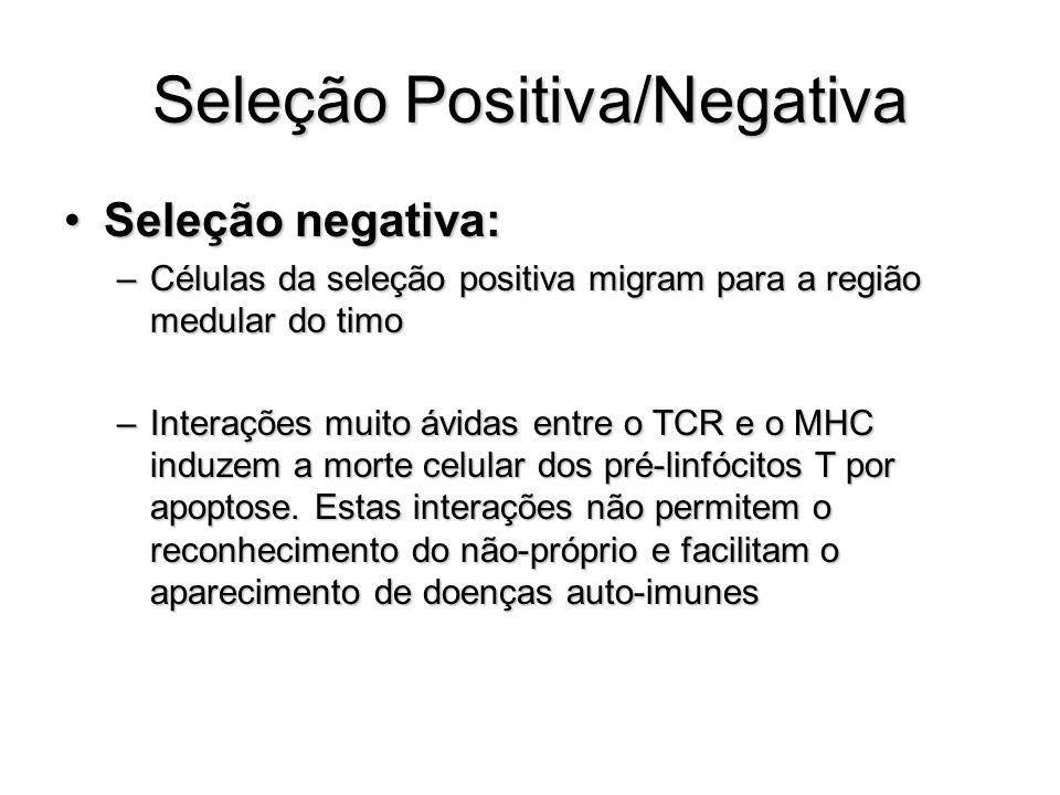 Seleção Positiva/Negativa Seleção negativa:Seleção negativa: –Células da seleção positiva migram para a região medular do timo –Interações muito ávida