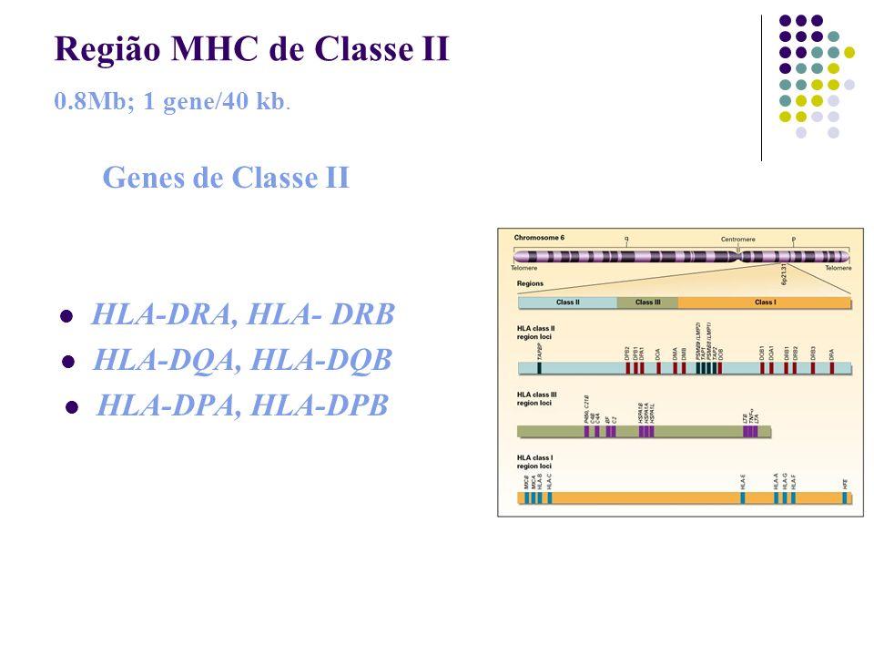 Região MHC de Classe II 0.8Mb; 1 gene/40 kb. Genes de Classe II HLA-DRA, HLA- DRB HLA-DQA, HLA-DQB HLA-DPA, HLA-DPB