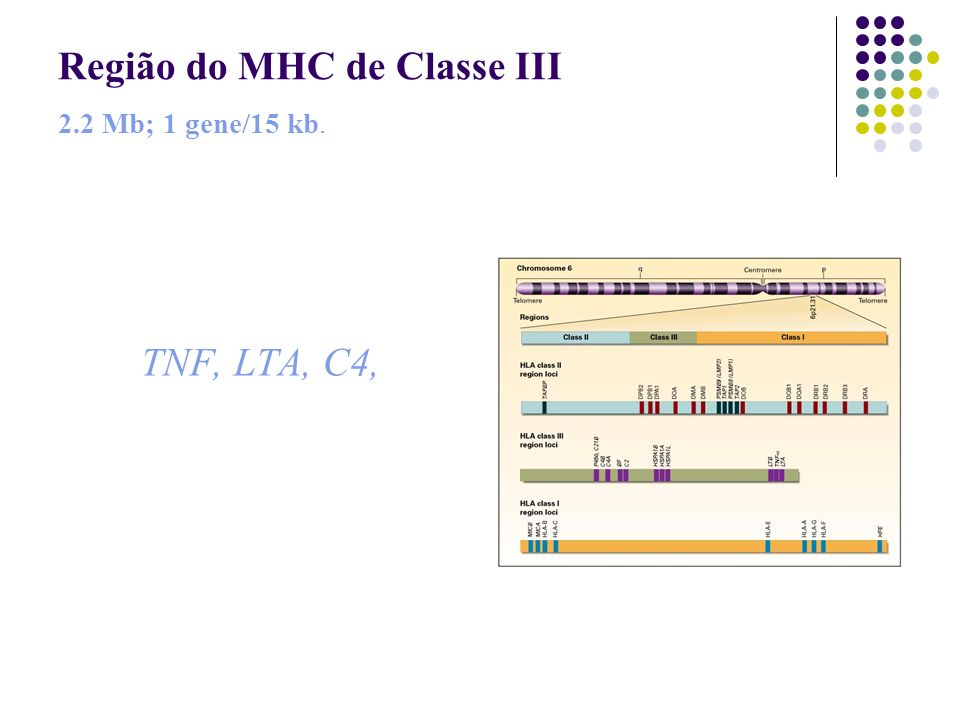 Região do MHC de Classe III 2.2 Mb; 1 gene/15 kb. TNF, LTA, C4,